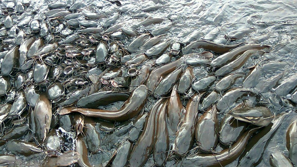 african catfish hammeripal